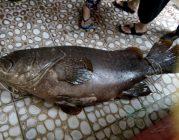 """Bắt được cá mú """"khủng"""" nặng 55 kg ở Phú Quốc"""